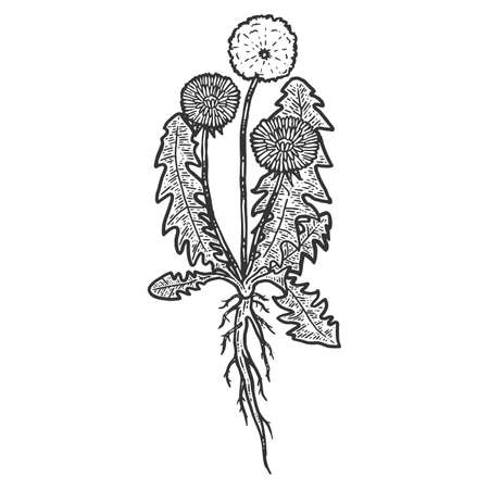 Botany, dandelion plant with root. Isolated object. Sketch scratch board imitation. Black and white. Engraving raster illustration.