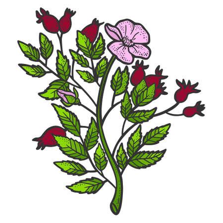 Rosehip bush. Sketch scratch board imitation. Color. Engraving vector 矢量图像