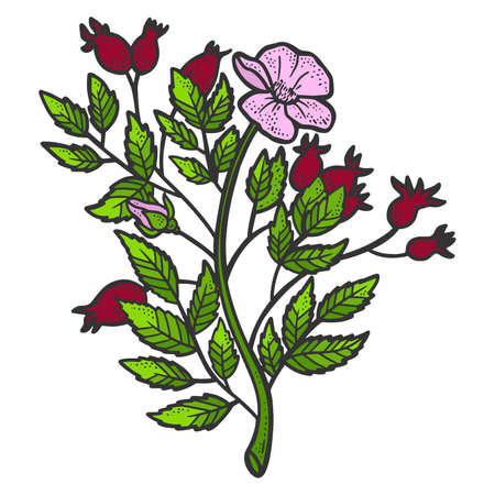 Rosehip bush. Sketch scratch board imitation. Color. Engraving raster 免版税图像