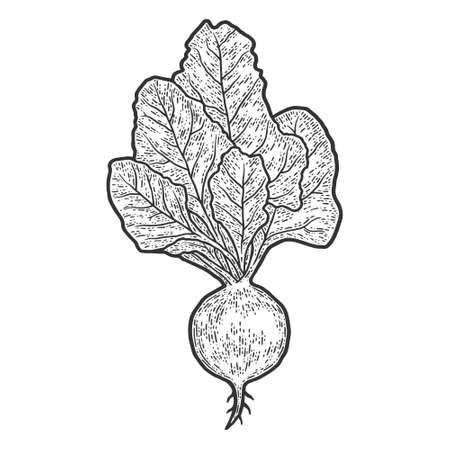 Engraving illustration of beet on white background. Sketch  イラスト・ベクター素材