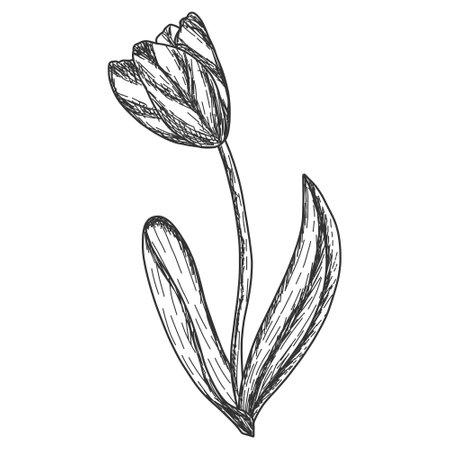 One tulip flower. Engraving vector illustration. Sketch scratch Vektorgrafik