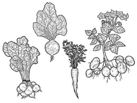 Set of vegetables. From root to green top. Sketch scratch board imitation.