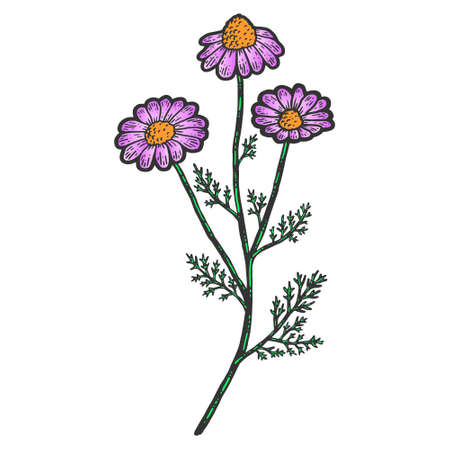 Plant blooming camomile isolated color. Sketch scratch board imitation. Vektorgrafik