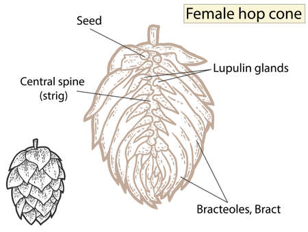 Flower, hop structure. Beer ingredient. Education agronomists and brewers. Vetores