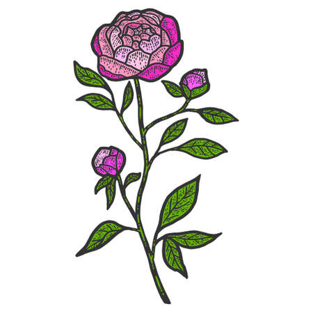Peony flower. Sketch scratch board imitation color.