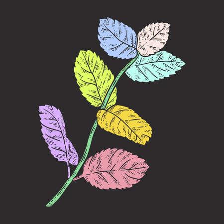 Sprig of mint. Sketch color. Black background.