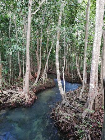 mangrove forest in Thailand, Krabi Province