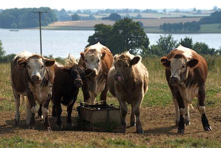 trough: Five Cows around a Trough No.1