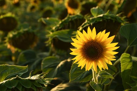 stand out: Sunflower at Sunset No.2