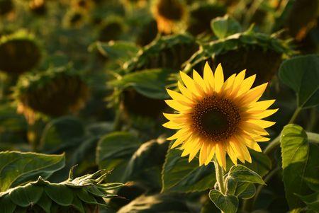 Sunflower at Sunset No.2 Stock Photo - 3409712