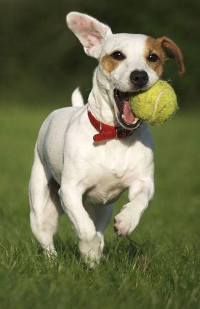 Jack Russell Terrier with Tennis Ball No.1 Stock Photo - 3419642