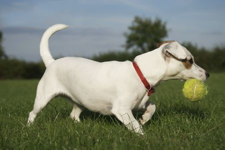 Jack Russell Terrier with Tennis Ball No.2 photo