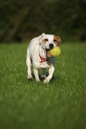 Jack Russell Terrier with Tennis Ball No.5 Stock Photo - 3419640
