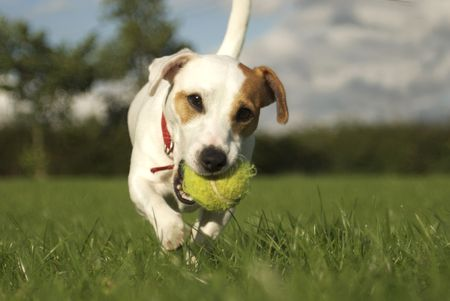black bitch: Jack Russell Terrier with Tennis Ball No.6 Stock Photo