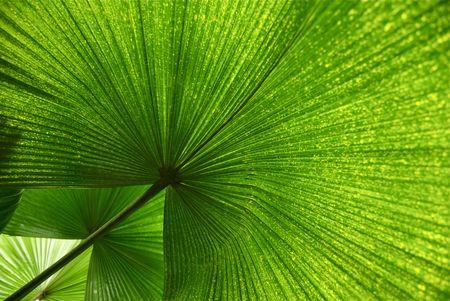 three leaf: Three Palm Leaves in Formation
