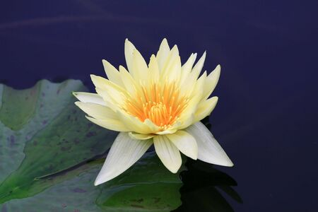 water-lily Stock Photo - 3558282