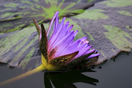 water nymph: water lily Stock Photo