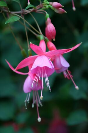 fuschia: Hanging Fuschia Flowers