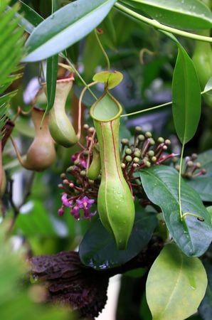 Nepenthes truncata Stock Photo - 3639158