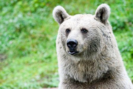 grizzly: Portrait d'un ours Banque d'images