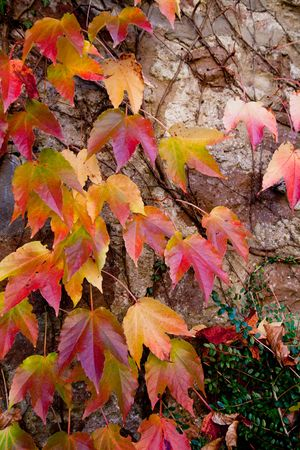 ivy wall: Autumn ivy leaves  Stock Photo