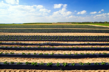 Lines of green vegetables in a farm field.  photo