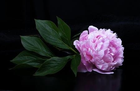 Pink peony  Stock fotó