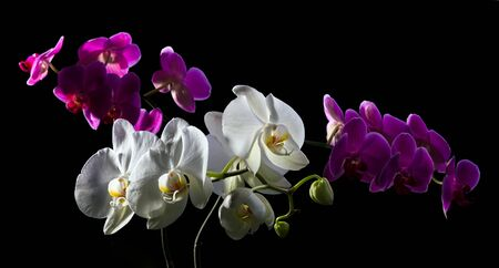 purple orchid: Purple and white orchid on black Stock Photo