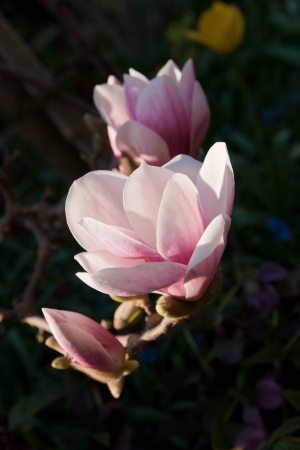 Spring magnolia tree blossoms in the garden  photo
