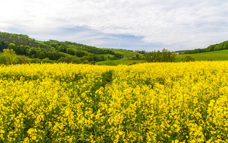 A yellow rapeseed field in  Germany  photo