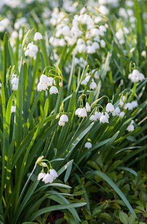 plantlife: Snowflake flowers Leucojum aestivum growing in spring