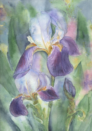 iris flower: Hand drawn watercolor illustration of Irises