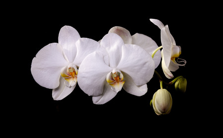 White orchid with buds on a black background