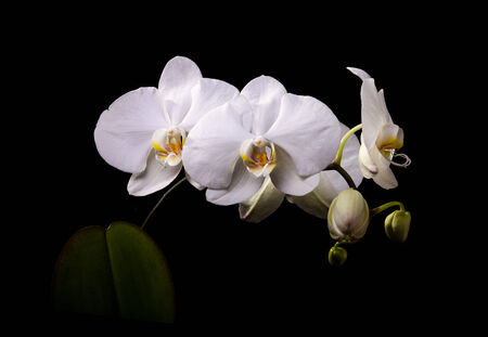 white orchid: White orchid with buds on a black background