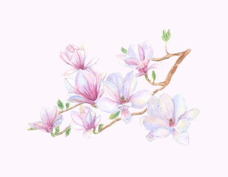 magnolia tree: Spring magnolia tree blossoms.