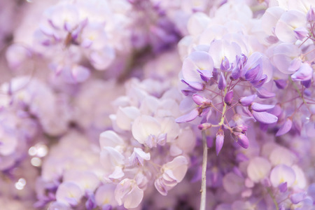 wisteria: Beautiful flowers of Wisteria blooming in spring Stock Photo