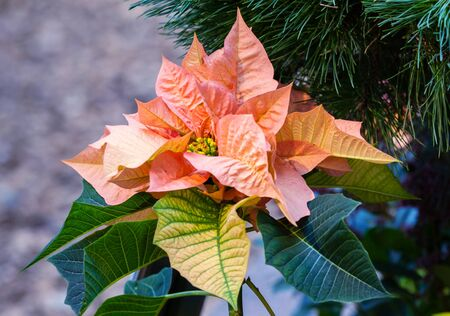 holiday tradition: Beautiful pink christmas flower poinsettia