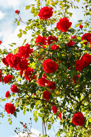 Red roses bush in the garden