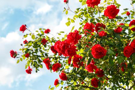 rosas rojas: Rosas rojas arbusto en el jardín Foto de archivo