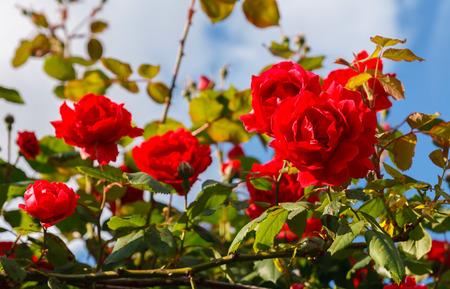 blue roses: Red roses bush in the garden
