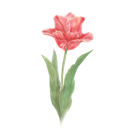 tulip: Hand drawn watercolor illustration of red  tulip flower