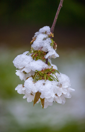 unpredictable: Cherry flowers under the snowfall