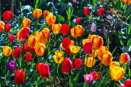 yellow stem: Colorful tulips blooming in the garden Stock Photo