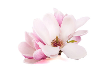 Las flores de magnolia rosa sobre un fondo blanco