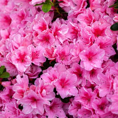 Background of beautiful pink azalea flowers Stock Photo