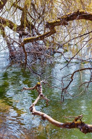 Branches of a Platanus at Mainau Island