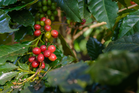planta de cafe: coffee plant with ripe coffee beans