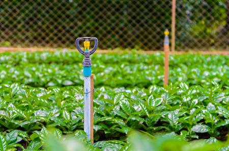 planta de cafe: water springer in coffee plant nursery.