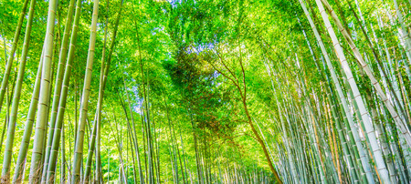 bamboo grove with morning sun blackground image.