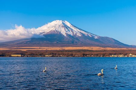 Fujisan or Fuji mountain in sunrise light with white swan at lake Yamanaka, Yamanashi prefecture Japan.
